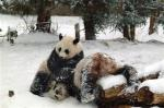 medium_lthumb.wx10102251400.snow_pandas_wx101.jpg